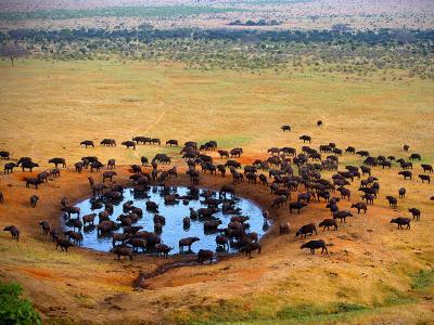 Veel buffalo's en zebra's in Masai Mara Kenia.