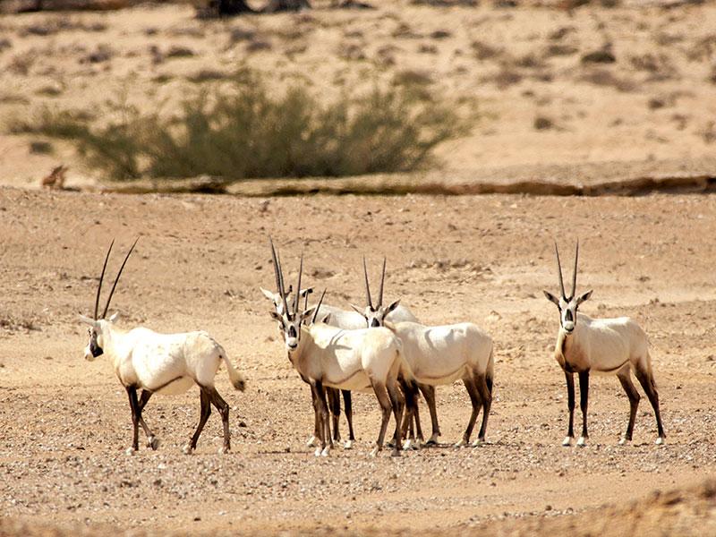In de woestijn van Oman ziet men vaak een orynx