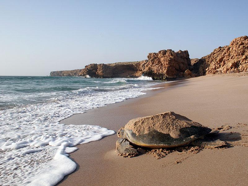 De schildpadden in Ras el Jinz in oost Oman vlakbij Sur.