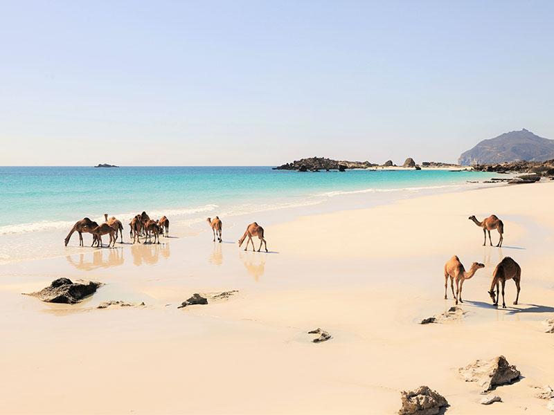 Kamelen ziet u overal in Oman, op het strand en in de woestijn.