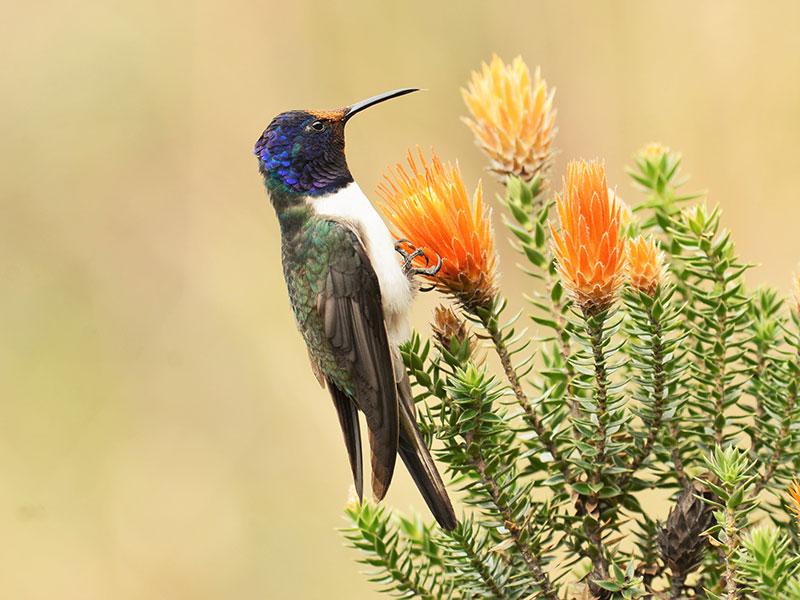 Veel bijzondere vogels tijdens de rondreis Peru en Ecuador.