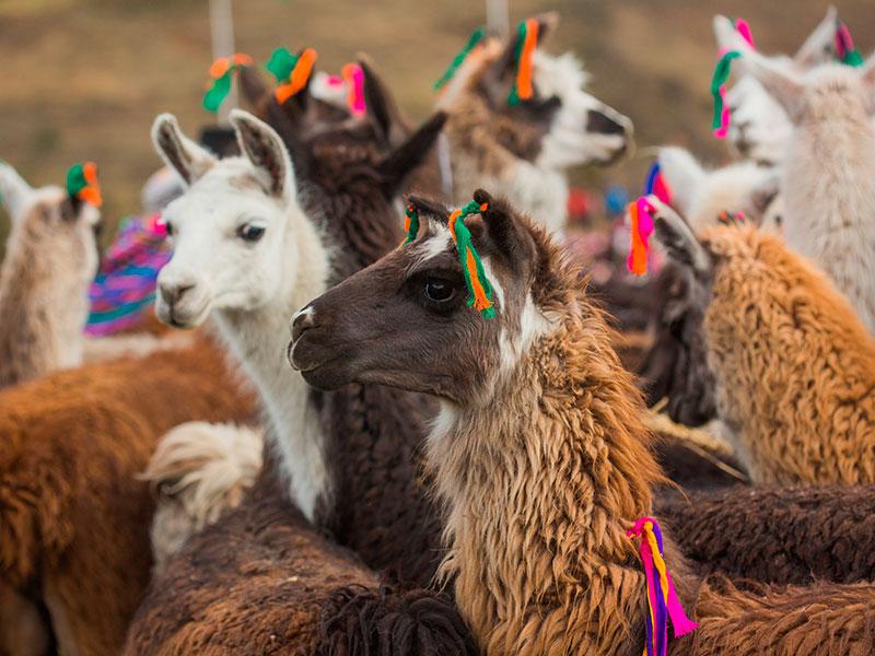 Lama's ziet u overal tijdens uw individuele reis door Peru.