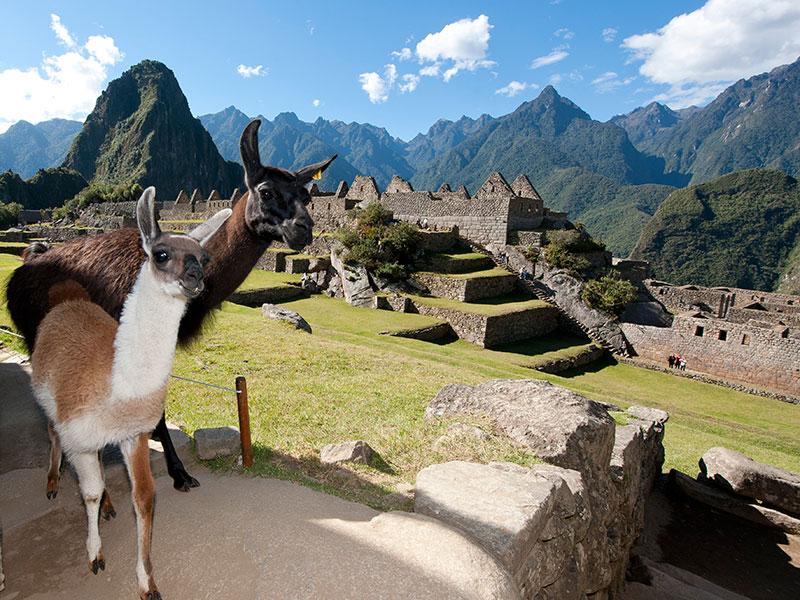 Lama's ziet u overal bij Machu Picchu en tijdens de reis door Peru.