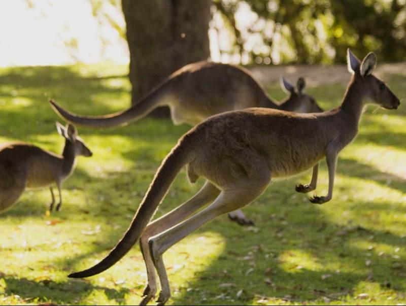 De kenmerkende kangaroo, een teken van australie, te zien als u met deze rondreis meegaat