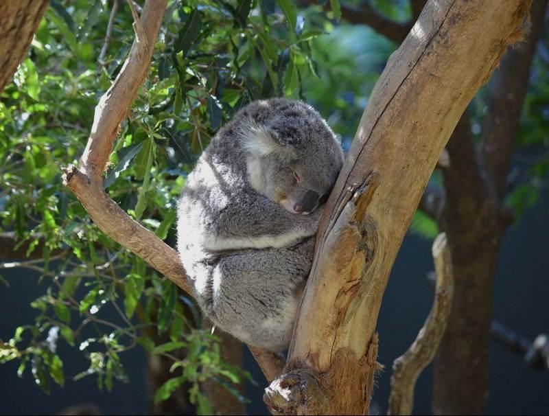 Deze kalme koalas kunt u ook tegenkomen tijdens uw rondreis door Australie