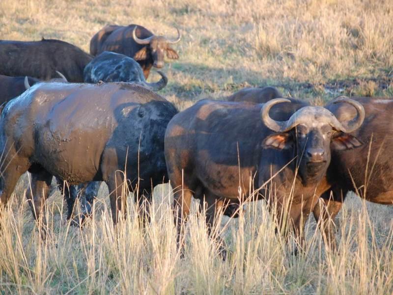 behorende tot de Big Five, ook deze dieren kunt u van dichtbij bewonderen tijdens uw rondreis