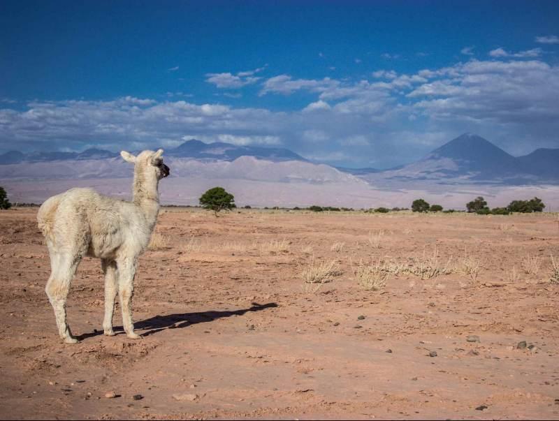 Het bijzondere landschap van Chili met een alpaca op de voorgrond