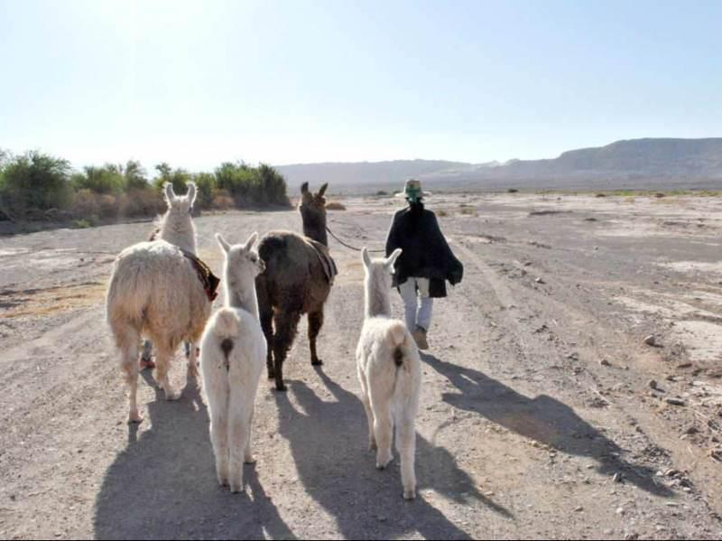 Alpacas die een wandeling maken door de prachtige natuur
