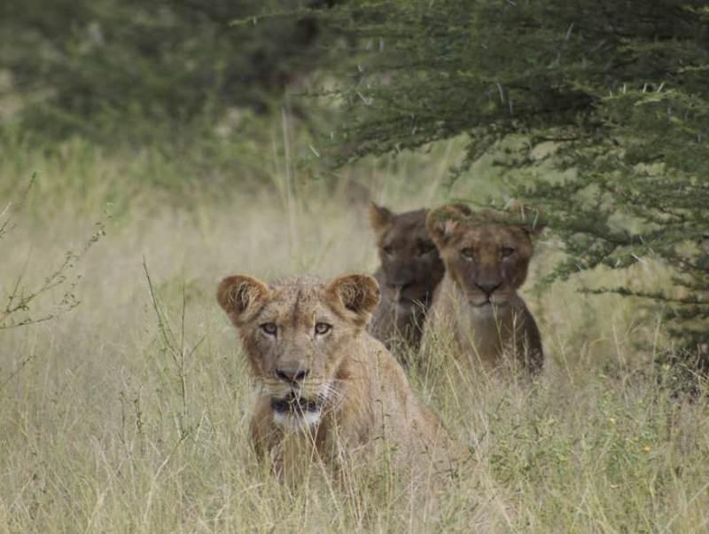 Leeuwen zijn een van de vele prachtige dieren die u gaat zien tijdens uw rondreis door Botswana