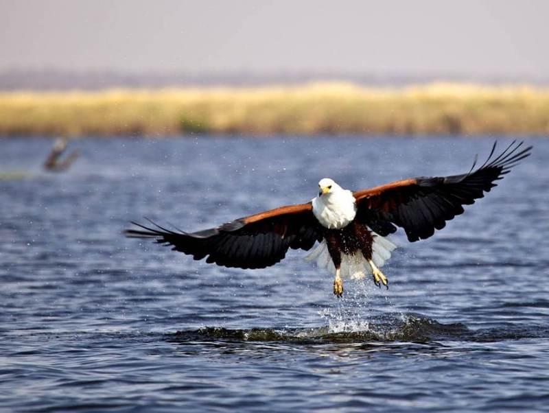Een prachtige roofvogel in Botswana