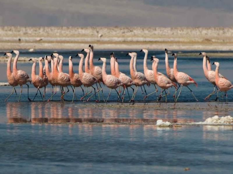Flamingos die in het noorden van Chili leven