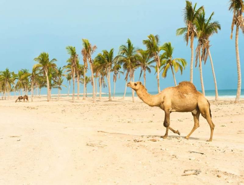 De kamelen die rondwandelen op Al Fizayah beach in uw vakantie in Salalah