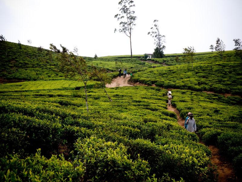 Een van de vele thee velden die sri lanka heeft en die u tijdens uw rondreis kunt gaan bezoeken.