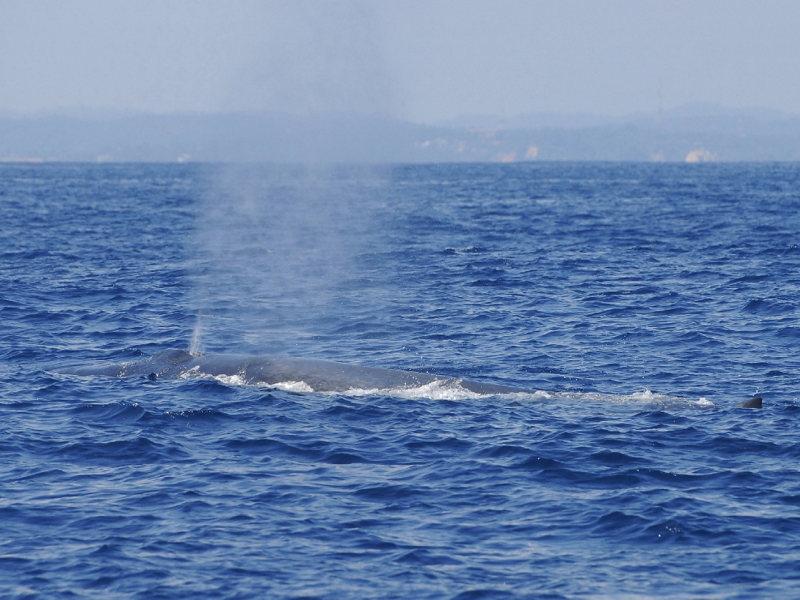In Sri Lanka zijn veel walvissn te vinden, misschien komt u er wel een tegen tijdens uw rondreis.
