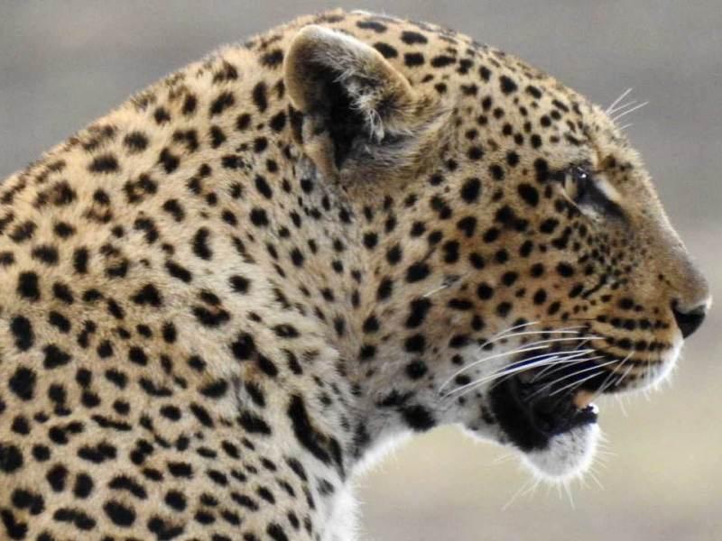 Tijdens uw rondreis door Tanzania komt u luipaarden tegen.