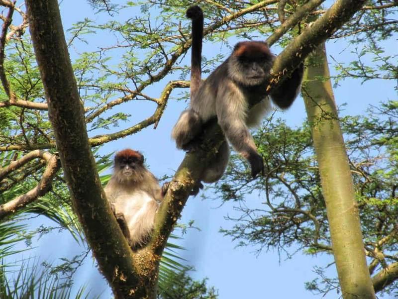 In Oeganda vindt u vele apen, met name in het Bwindi Impenetrable Forest dat u gaat bezoeken.