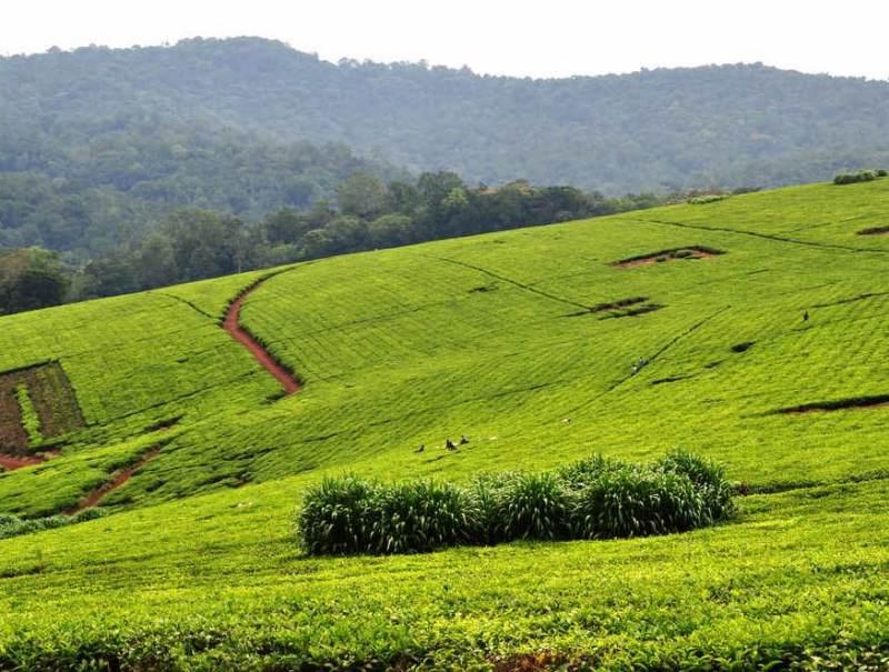 In Oeganda zijn verschillende theevelden te vinden, u heeft de mogelijkheid een theeveld te bezoeken.